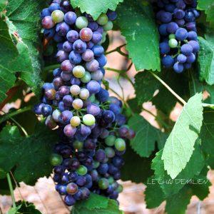 La véraison dans les vignes du chai d'Emilien