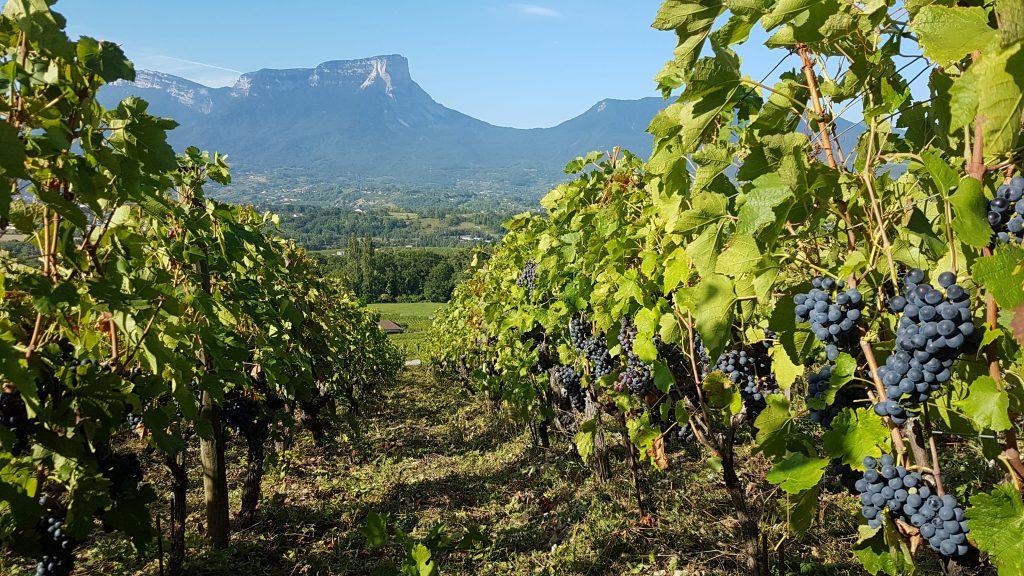 Grappes de raisins du domaine Claude Quenard