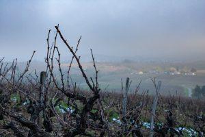 Les vignes avant la taille d'hiver - Domaine Philippe Viet